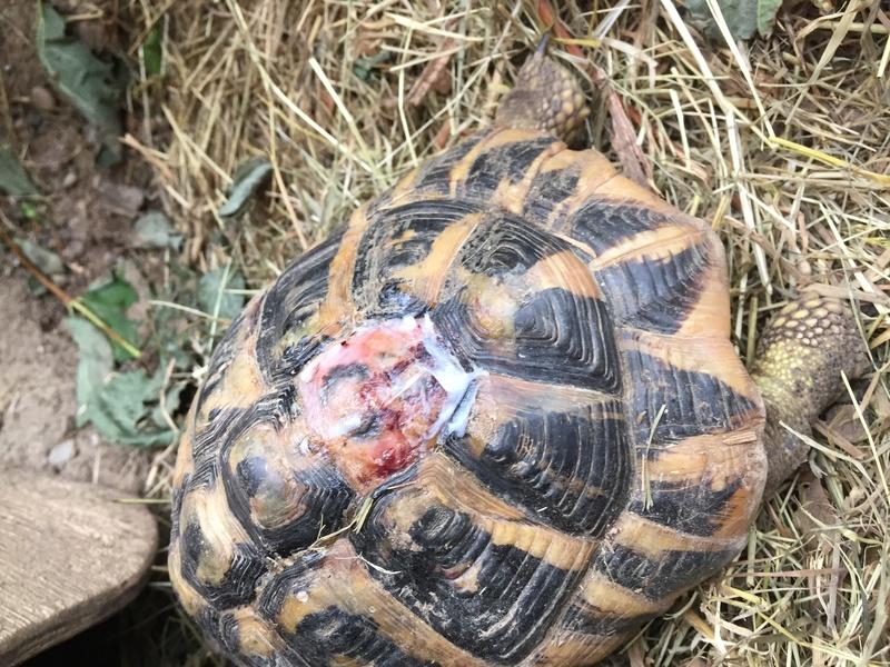Perte d'une écaille sur mes deux tortues, urgent Img_1411