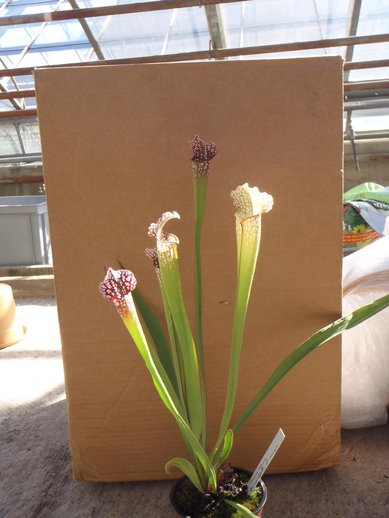 drosera madagascariensis et sarracenia leucophylla P8110111
