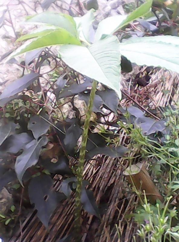 résolu: Sauromatum venosum Img_2015