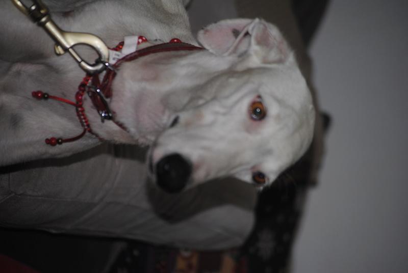 Capea, galga blanche, 7 ans Adoptée  Dsc_0611