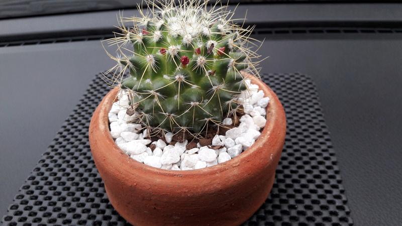 ID Mammillaria 20160710