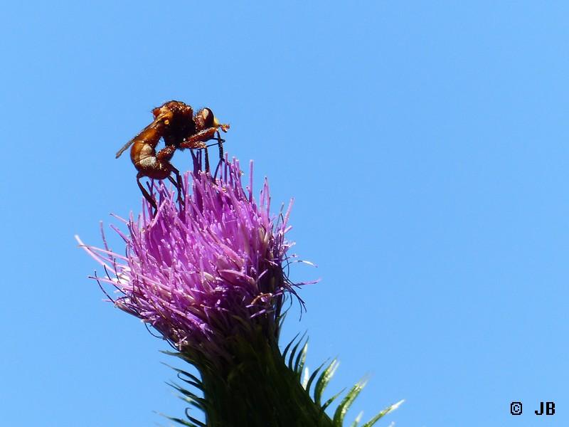 Identification espèce mouche Copie_26