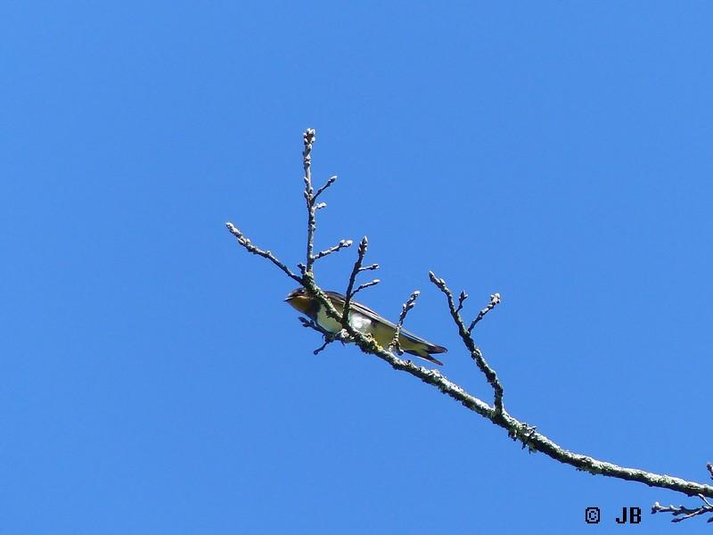 [16- Charente] Hirondelles rustiques perchées sur un arbre Copie_30