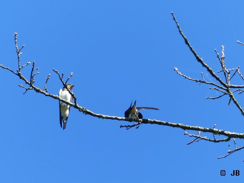 [16- Charente] Hirondelles rustiques perchées sur un arbre Copie_32