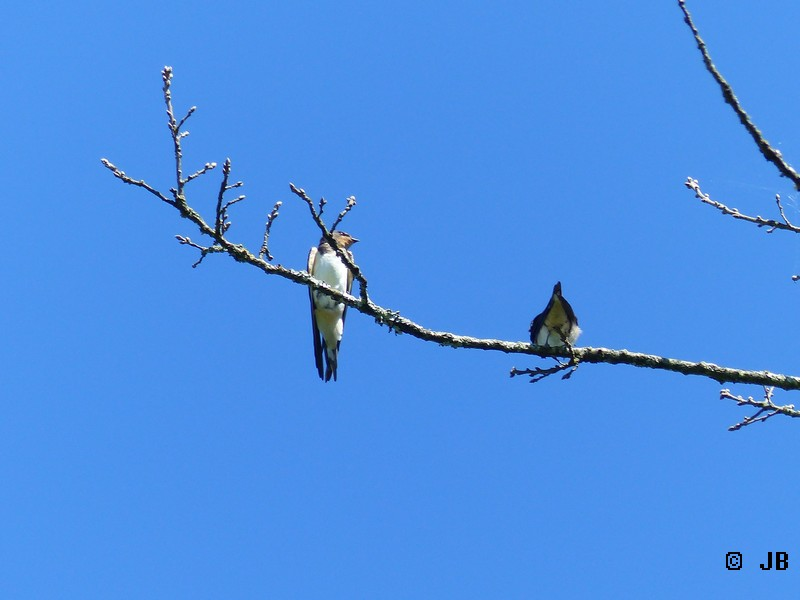 [16- Charente] Hirondelles rustiques perchées sur un arbre Copie_33