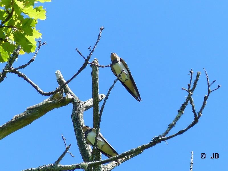 [16- Charente] Hirondelles rustiques perchées sur un arbre Copie_34