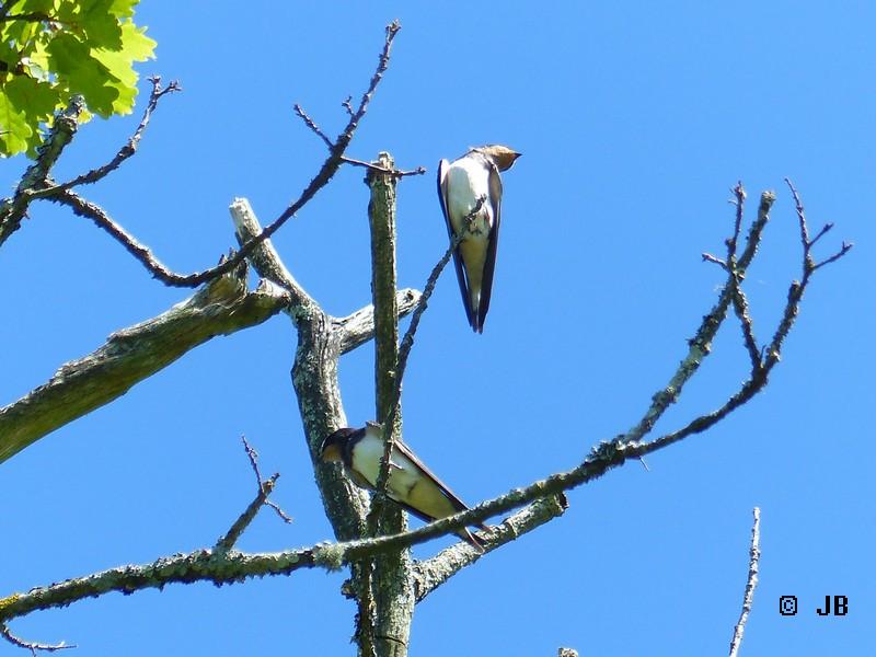 [16- Charente] Hirondelles rustiques perchées sur un arbre Copie_35
