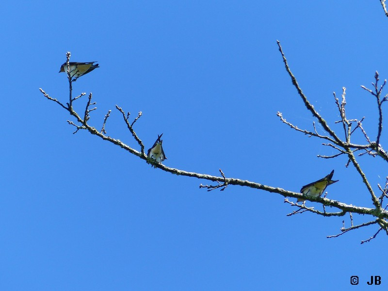 [16- Charente] Hirondelles rustiques perchées sur un arbre Copie_36