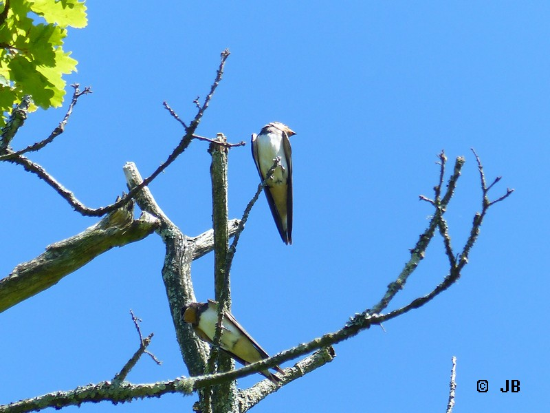 [16- Charente] Hirondelles rustiques perchées sur un arbre Copie_38