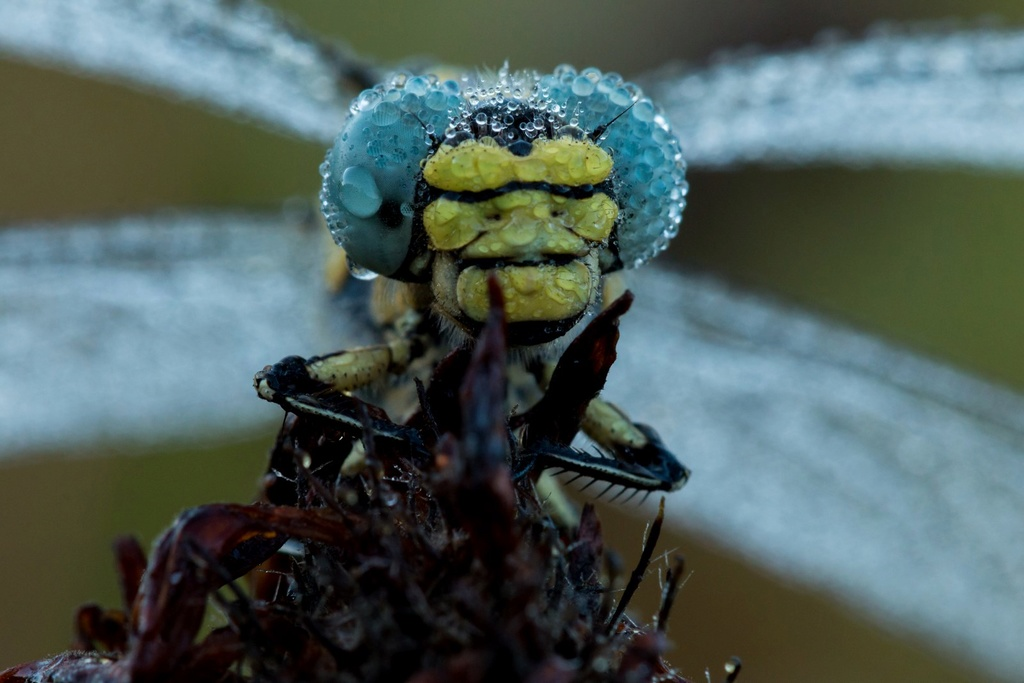 [17-Charente maritime]  Onychogomphe à crochets ♀(Onychogomphus uncatus 26_jui10