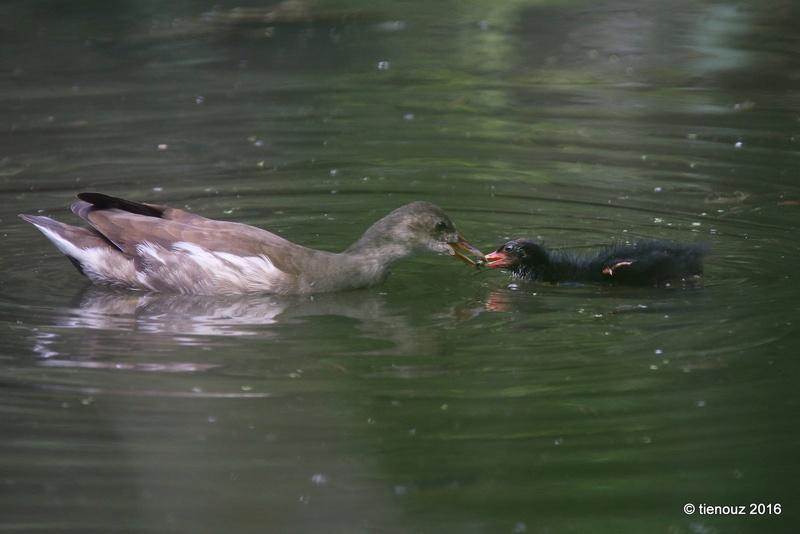 gallinules poules d'eau,Limoges 87 Img_3711