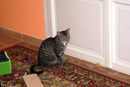 loula - LOULA, chatte européenne tigrée grise, née en Juillet 2015 Elle_r10