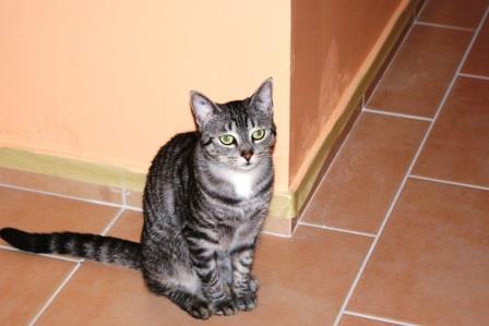 loula - LOULA, chatte européenne tigrée grise, née en Juillet 2015 Loula_10