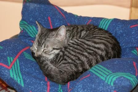loula - LOULA, chatte européenne tigrée grise, née en Juillet 2015 Loula_11
