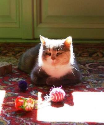 loula - LOULA, chatte européenne tigrée grise, née en Juillet 2015 Mirabe12