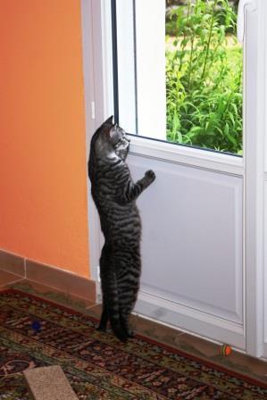 loula - LOULA, chatte européenne tigrée grise, née en Juillet 2015 Ya_a_l10