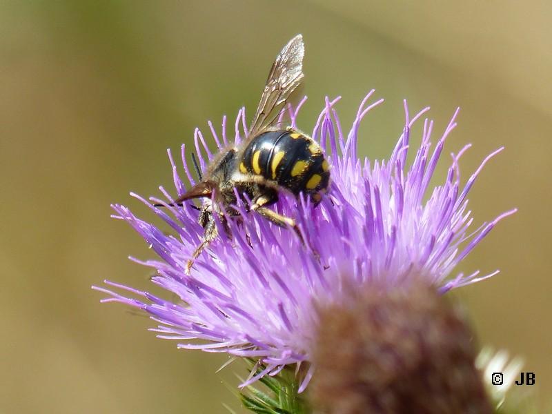 [16 - Charente] Anthidium sp. sur fleur de chardon Copie_11
