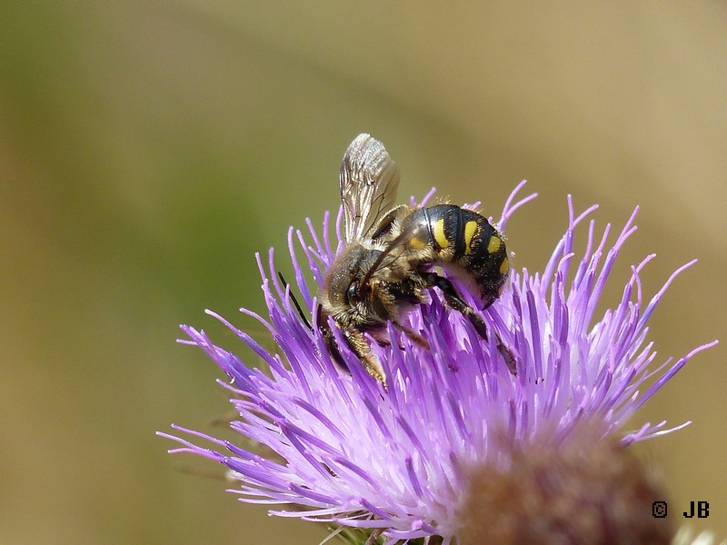 [16 - Charente] Anthidium sp. sur fleur de chardon Copie_12