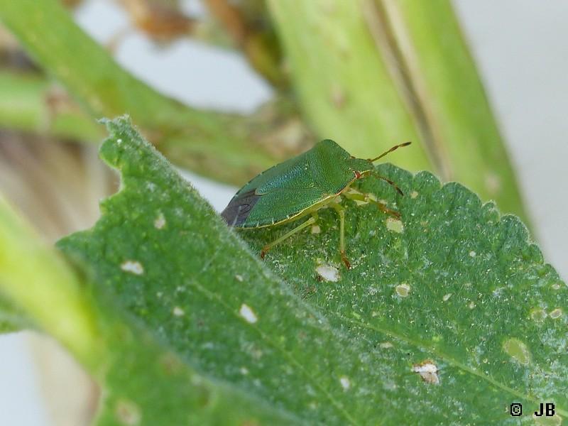 [16 - Charente]  Punaise verte (Palomena prasina) Copie_21