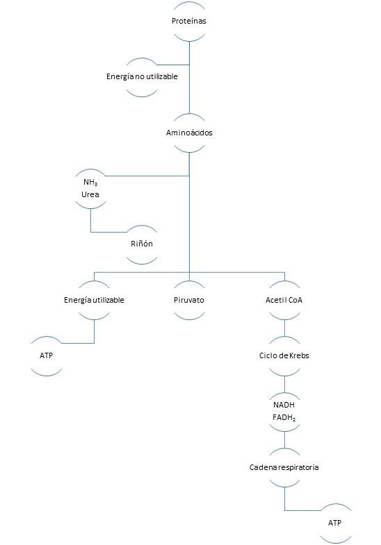 I- Cuestionario reflexivo (Introducción al Metabolismo) Protey10