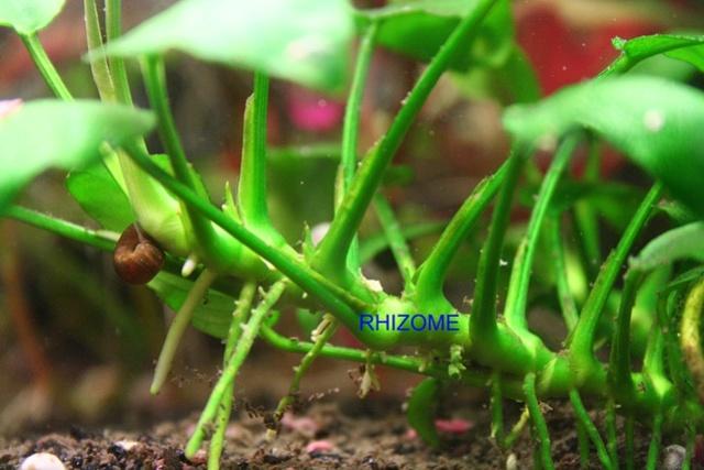 Cohabitation crevettes ancistrus cory ? Anubia12