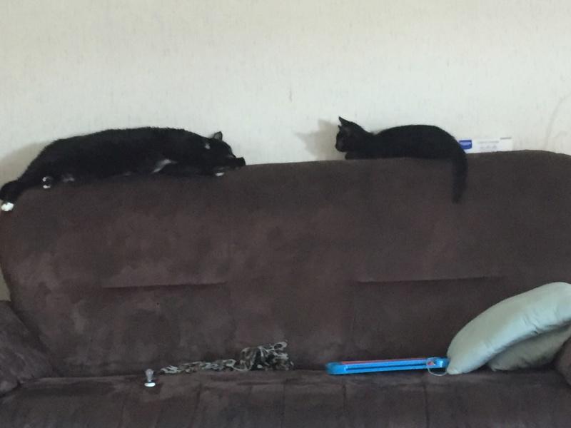 milord - Milord, chaton noir né le 01/05/2016 Image10