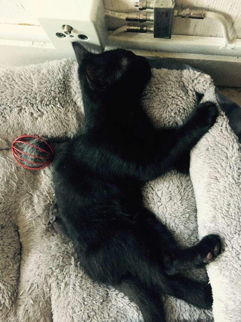 milord - Milord, chaton noir né le 01/05/2016 Image12