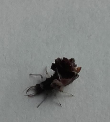 """Insecte se collant des """"trucs"""" sur le dos Myster10"""