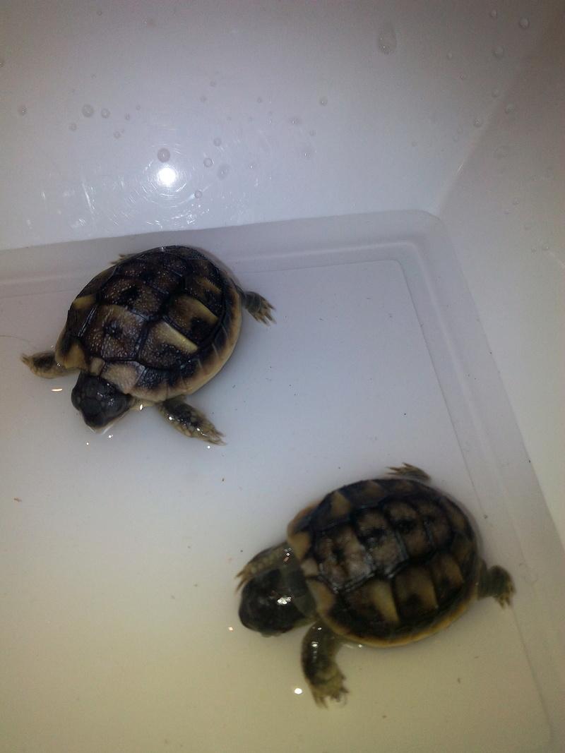 bb tortues jumelle accroché par sac vittellin commun - Page 2 Bain_d10