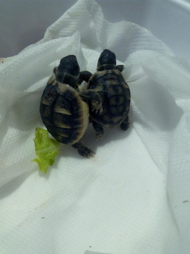 bb tortues jumelle accroché par sac vittellin commun Img_2013