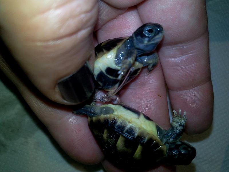 bb tortues jumelle accroché par sac vittellin commun Img_2017