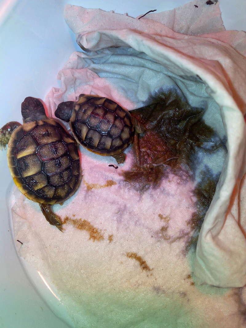 bb tortues jumelle accroché par sac vittellin commun Img_2020