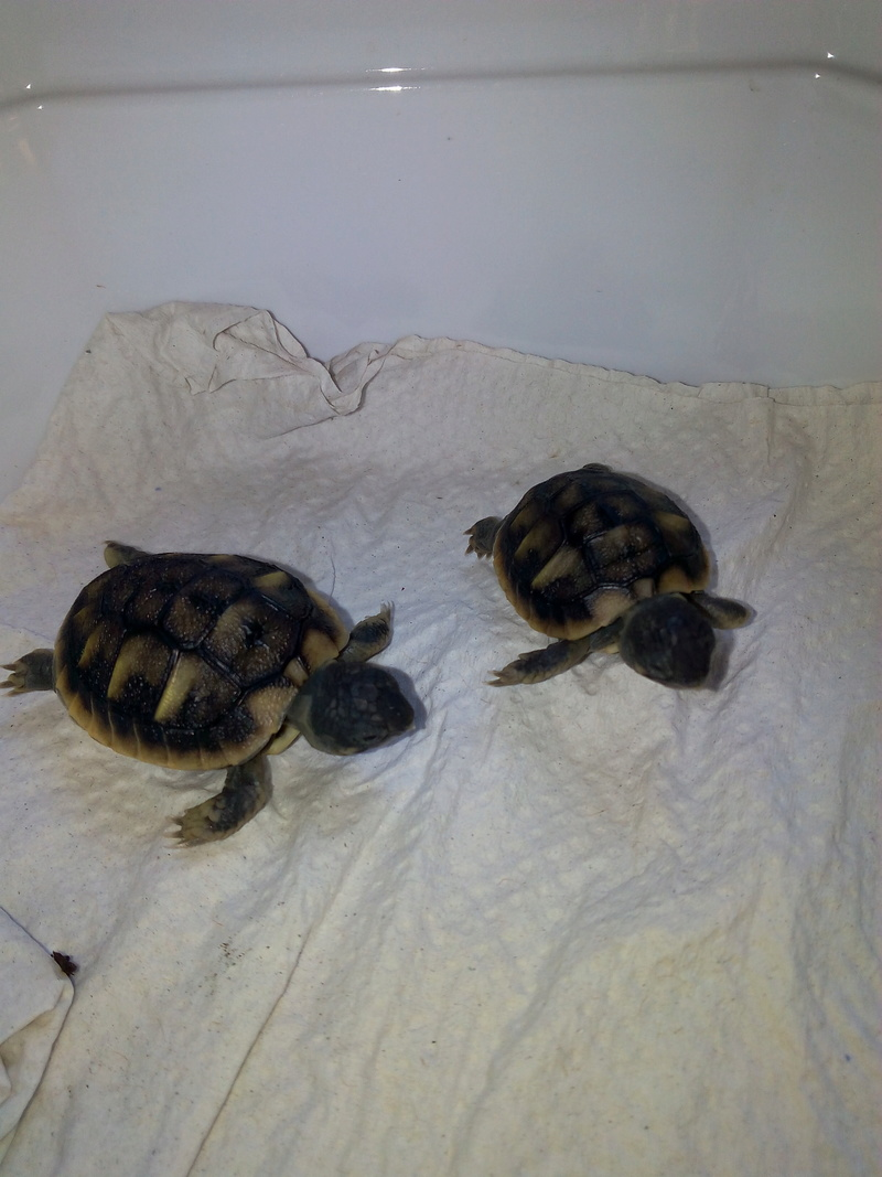 bb tortues jumelle accroché par sac vittellin commun - Page 2 Img_2024