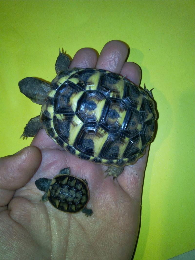 bb tortues jumelle accroché par sac vittellin commun - Page 2 Img_2026