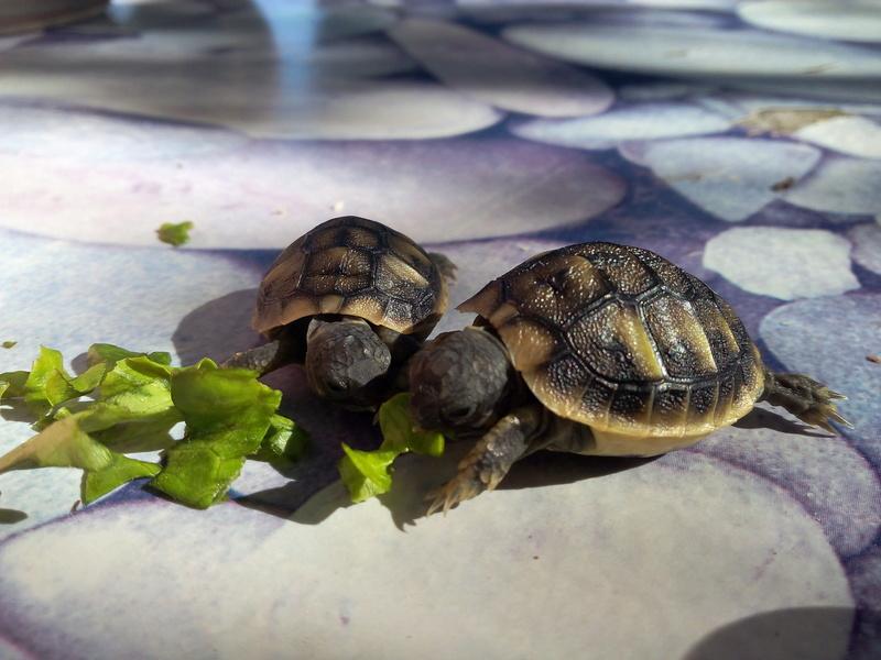 bb tortues jumelle accroché par sac vittellin commun - Page 3 Img_2030