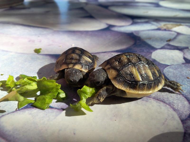 bb tortues jumelle accroché par sac vittellin commun - Page 3 Img_2031