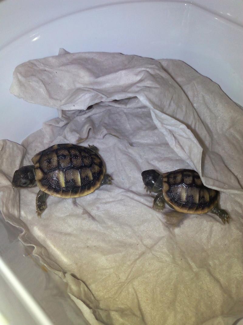 bb tortues jumelle accroché par sac vittellin commun - Page 2 L_heur10