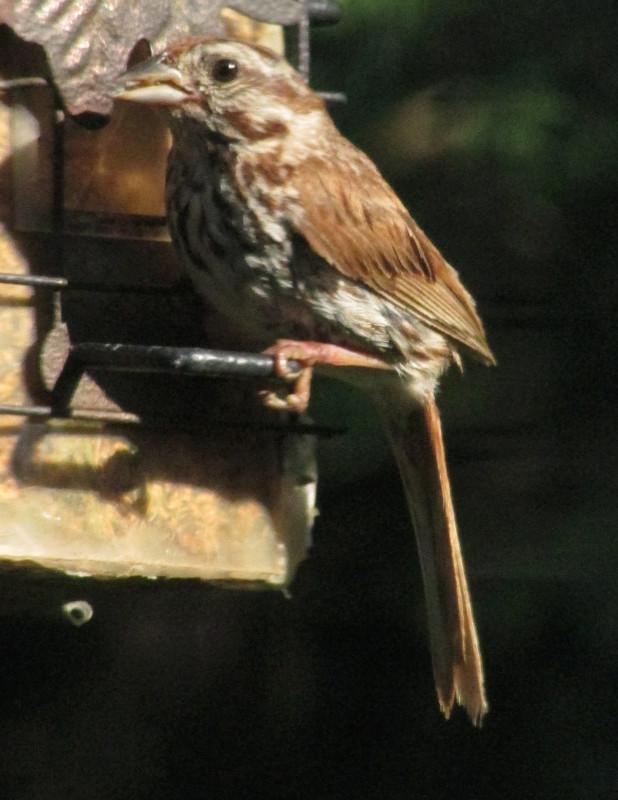 Quel était cet oiseau vu par ma fenêtre? Aoyt_210