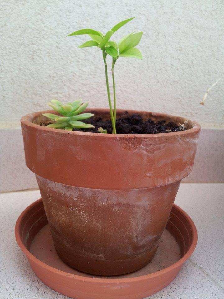 Il mio primo bonsai - Pompelmo Rosa XD 111