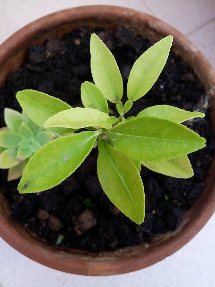 Il mio primo bonsai - Pompelmo Rosa XD 211