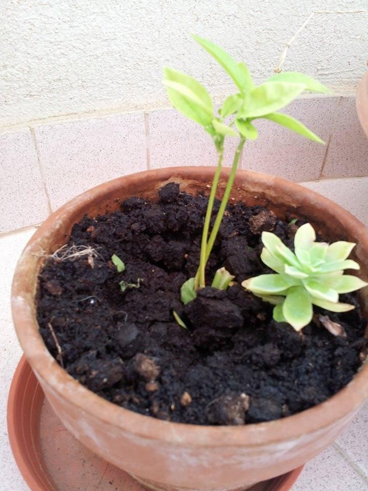 Il mio primo bonsai - Pompelmo Rosa XD 411