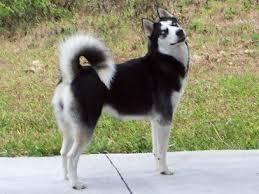 For people who love husky dog 610