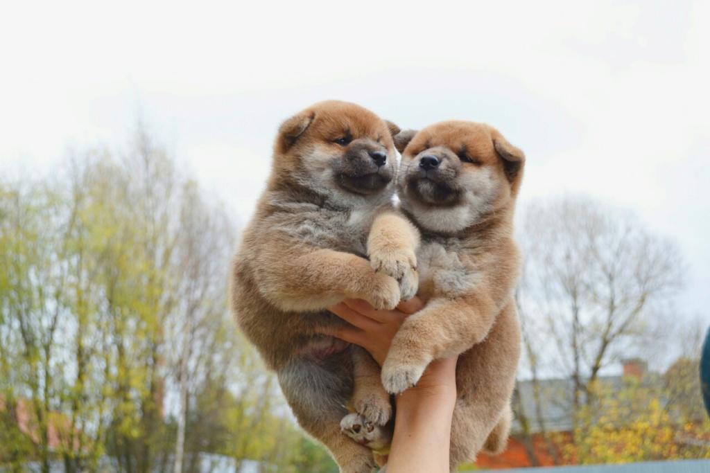 Рыжие щеночки от TANRAY HIKARU & ARCTIC SHINE GINGA, Московская обл. 1110
