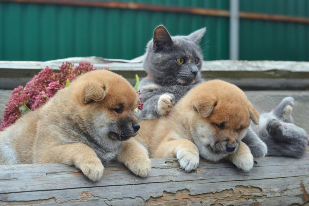 Рыжие щеночки от TANRAY HIKARU & ARCTIC SHINE GINGA, Московская обл. 11110