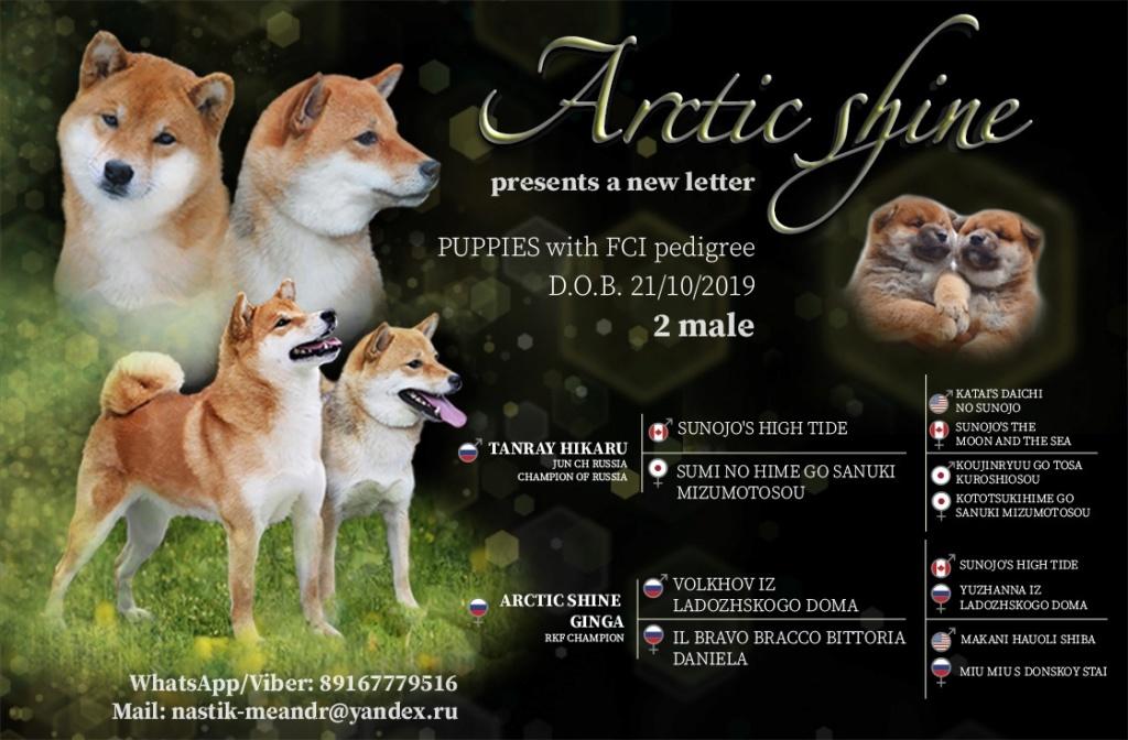 Рыжие щеночки от TANRAY HIKARU & ARCTIC SHINE GINGA, Московская обл. 510