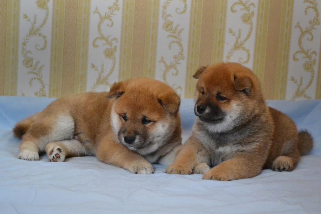 Рыжие щеночки от TANRAY HIKARU & ARCTIC SHINE GINGA, Московская обл. H12