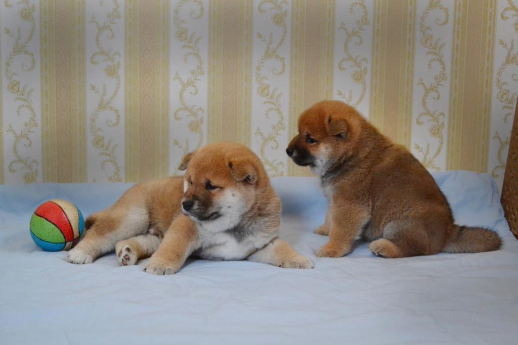 Рыжие щеночки от TANRAY HIKARU & ARCTIC SHINE GINGA, Московская обл. Y10