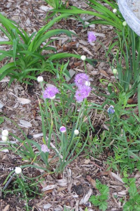 Au jardin de MarieM saison 2020 Allium13