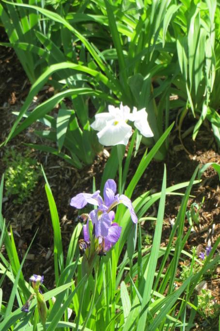 Au jardin de MarieM saison 2020 Iris_b14