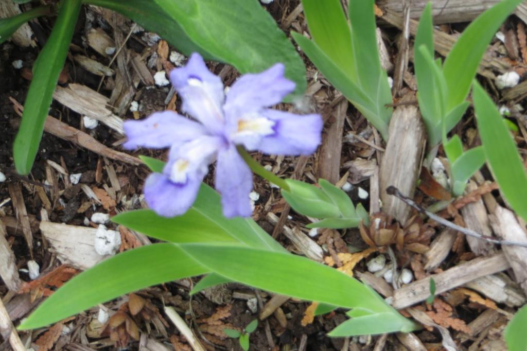 Au jardin de MarieM saison 2020 Iris_c10